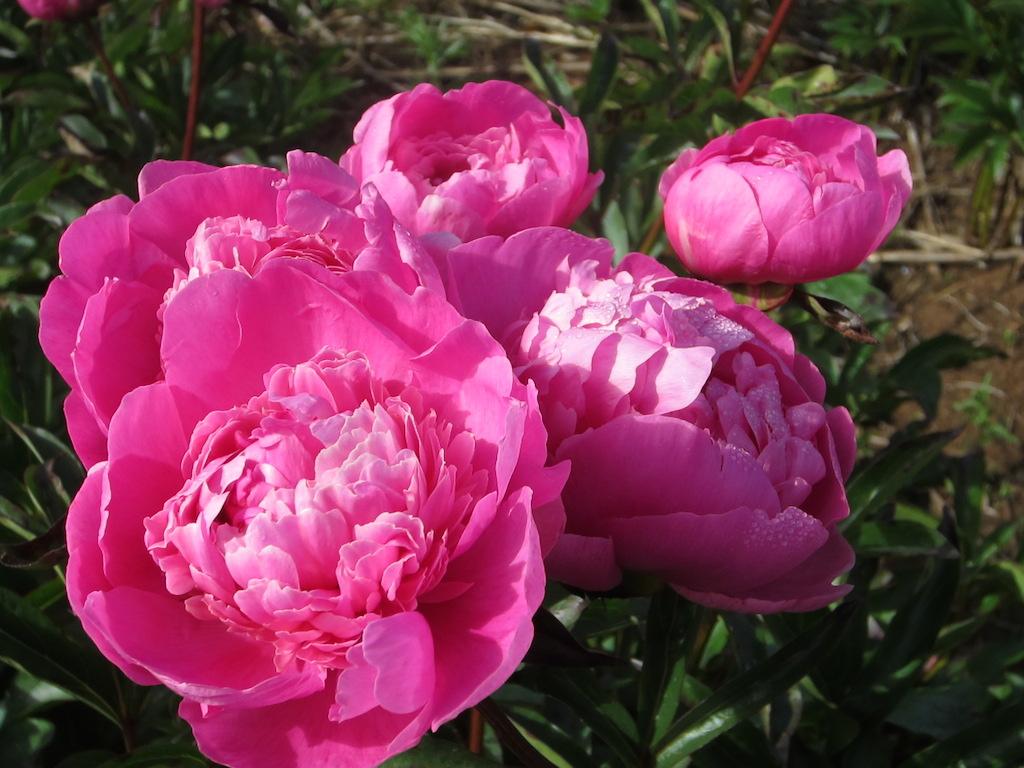 Flower varieties mount macedon peonies victoria felix crousse 2 felixcrousses mightylinksfo