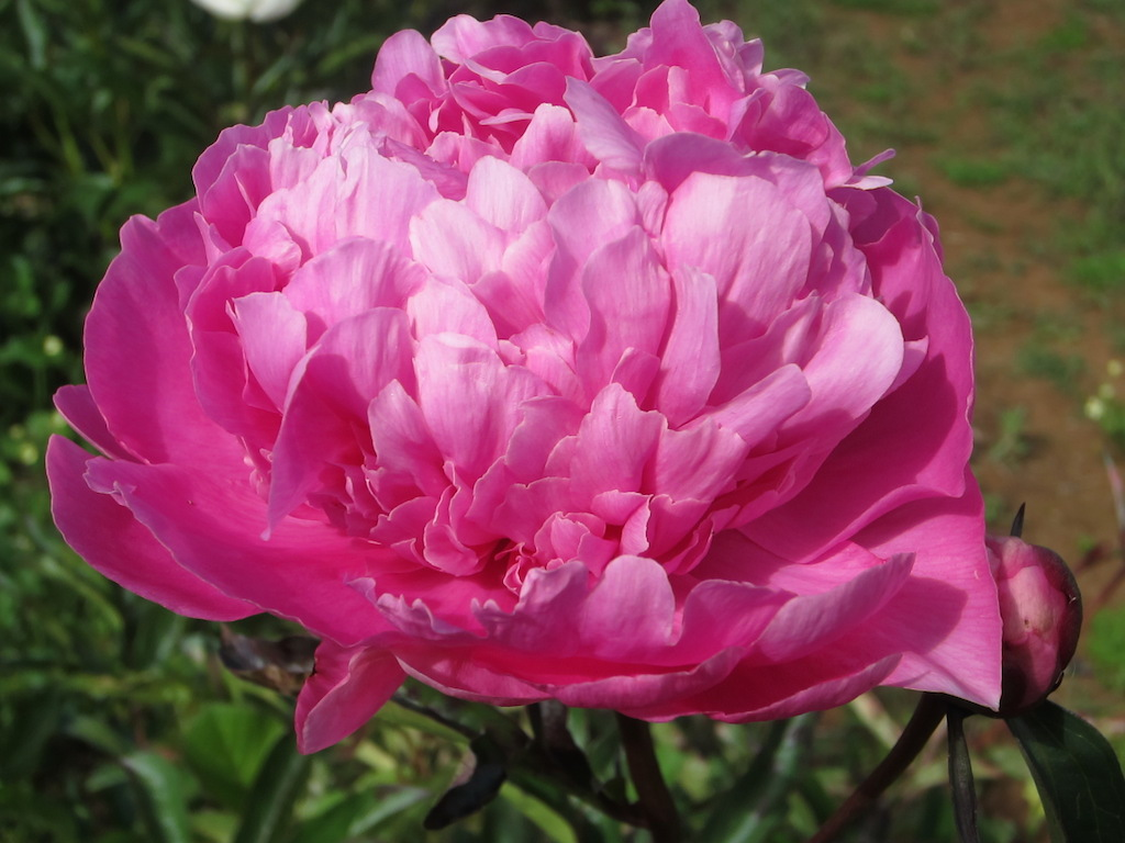 Flower Varieties Mount Macedon Peonies Victoria