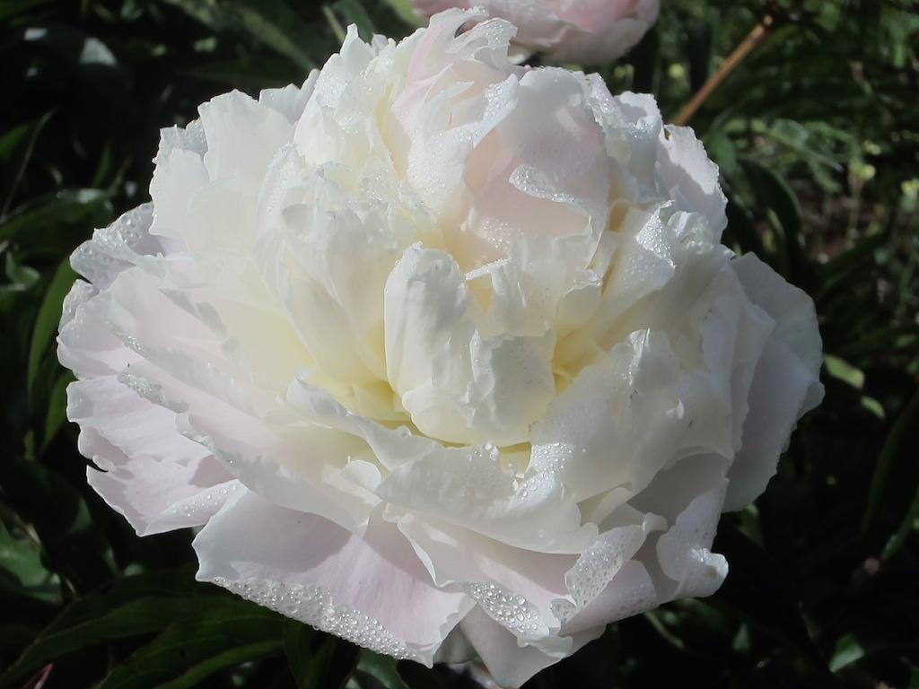 flower varieties mount macedon peonies victoria